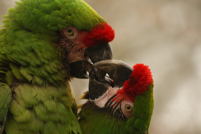 green macaw